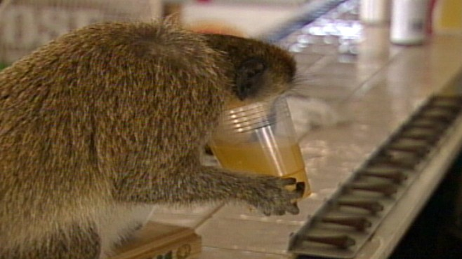 VIDEO: On the island of St. Kitt's, it's not uncommon for monkeys to snag alcohol.