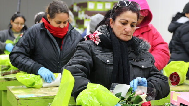 Seasonal workers check the quality of flowers before they go out for Valentines Day.