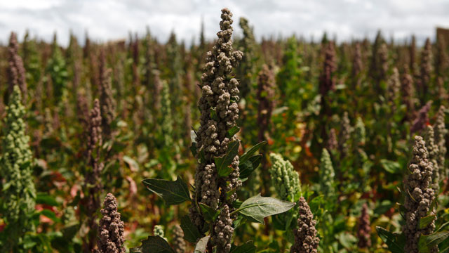 PHOTO: In this Feb. 16, 2013 photo, quinoa plants grow in a farmers field in Patamanta, Bolivia.