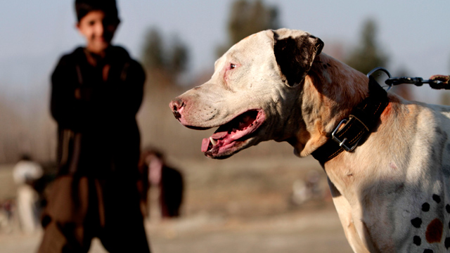 PHOTO: Mexican prosecutors suspect that the Zetas cartel may be organizing dog fights and cock fights as it looks for alternate sources of revenue. This picture is from a dog fight in Afghanistan.