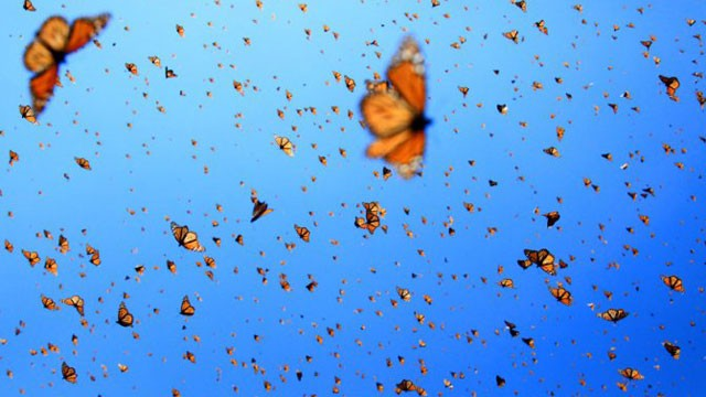 PHOTO:&nbsp;Monarch butterflies spend summertime in Canada and winter in a few mountain tops in Michoac&aacute;n state, Mexico.