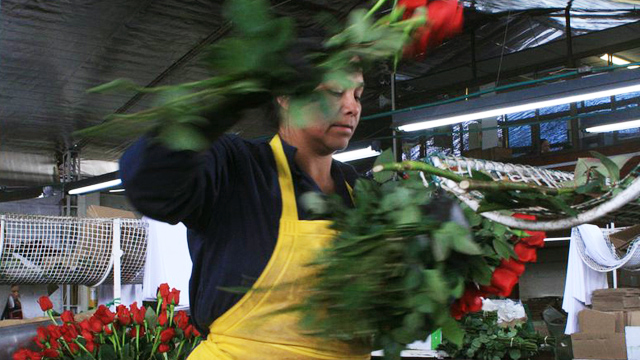PHOTO: Flowers workers in Colombia often work in d
