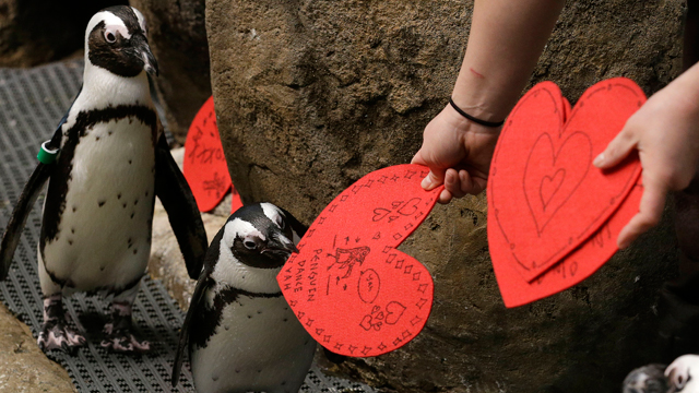 PHOTO:African penguins receive valentines from biologist Crystal Crimbchin at The California Academy of Sciences African penguin exhibit in San Francisco, Wednesday, Feb. 13, 2013. The valentines will be used as nesting material. (AP Photo/Jeff Chiu)