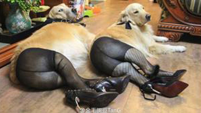 PHOTO:Dogs in pantyhose -- a most self-explanatory fad