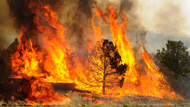 PHOTO:Brush and trees are engulfed in flames after firefighters set a backburn along Highway 191 in an attempt to control a raging wildfire on June 10, 2011 in Nutrioso, Arizona.