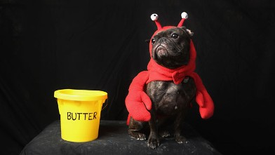 PHOTO:A dog dresses as a lobster for Halloween.