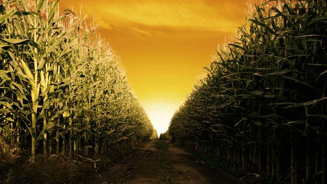 PHOTO: Corn