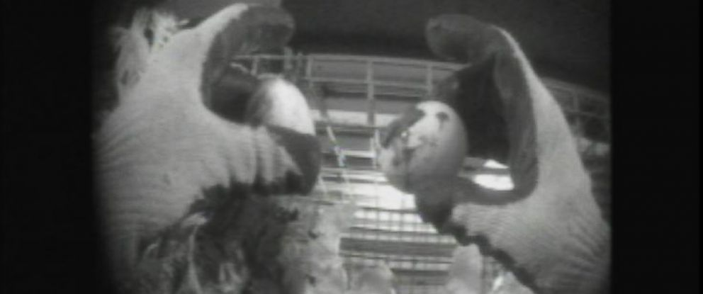 PHOTO: Undercover video shot by the animal rights group Mercy for Animals and provided to ABC News appears to show unsanitary conditions and repeated acts of animal cruelty at a major American egg farm.