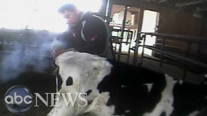 Inhumane abuse of cows