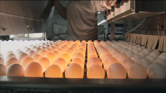 "PHOTO: Sparboe produces hundreds of millions of eggs and claims it has never discovered salmonella in a single egg. Ken Klippen of Sparboe told ABC News, ""I've been at barns all around the world, this is state of the art when it comes to egg production."""