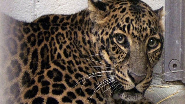 PHOTO: One of three leopards that were captured by authorities is photographed a day after their owner released dozens of wild animals and then killed himself near Zanesville, Ohio.