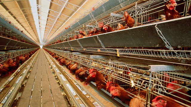 PHOTO: Critic Calls Battery Cages Cruel