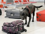 PHOTO: A new government investigation suggests that the Transportation Security Administration is not collecting enough detailed information to know if its bomb dogs are well trained and capable of finding bombs at the nations airports.