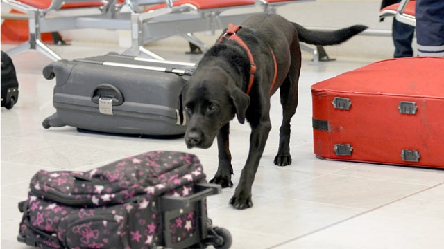 PHOTO: A new government investigation suggests that the Transportation Security Administration is not collecting enough detailed information to know if its bomb dogs are well trained and capable of finding bombs at the nation's airports.