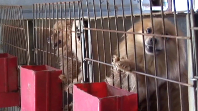 PHOTO: Numerous puppy mill operators, who have been charged with animal cruelty, have been selling American Kennel Club registered puppies even passed AKC inspections.