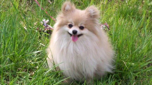 PHOTO: Dennis Adkins has filed a $5 million class action lawsuit against Nestle Purina, alleging that his 9-year-old Pomeranian C