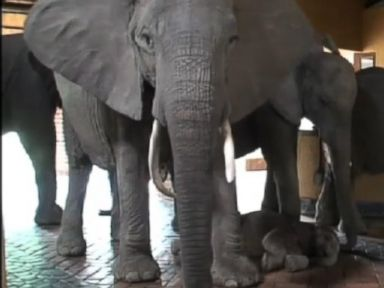 Watch These Elephants Walking Through African Safari Lodge Mfuwe