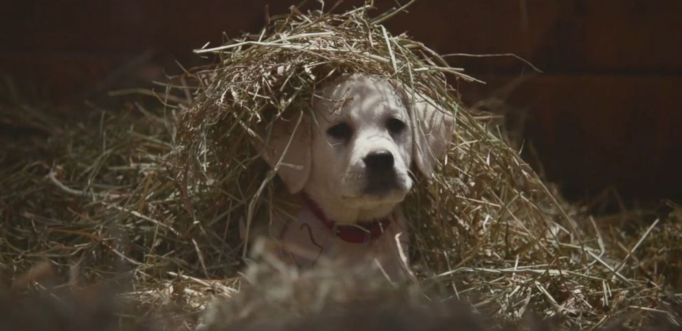 VIDEO: Watch the full commercial about a puppy reuniting with his Clydesdale best friend in Budweisers spot for Super Bowl XLIX.