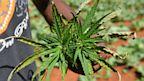 PHOTO: Marijuana Plant