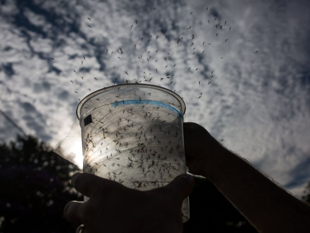 PHOTO: A Biologist releases genetically modified mosquitoes in the city of Piracicaba, Feb. 11, 2016 in Sao Paulo, Brazil.