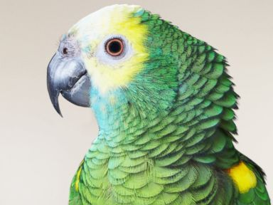 Parrot Mistaken for Child in Distress in Connecticut
