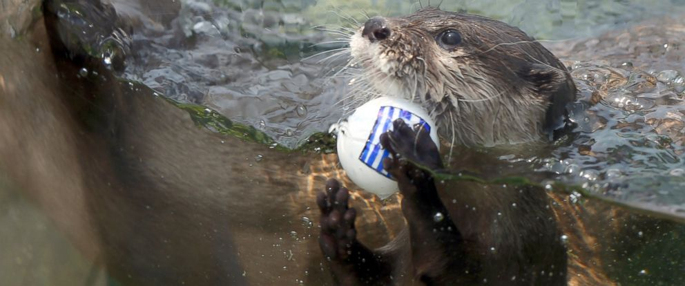 PHOTO: An Otter named Chippu selects the Greece flag ball as he swims at the Himeji Central Park, June 19, 2014, in Himeji, Japan.