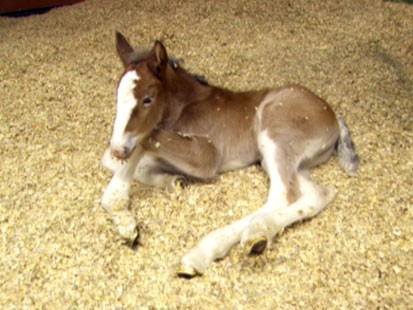 PHOTO: This young foal is only a few weeks old and will be the star of this years iconic Budweiser Clydesdale Super Bowl ad on Sunday, Feb. 3, 2013.