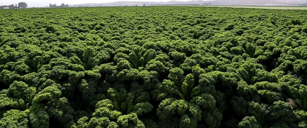 PHOTO: Church Brothers Produce, a California produce grower and shipper, is now planting six times the amount of kale that they planted three years ago.