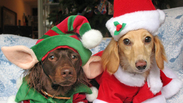 PHOTO: Two longhaired miniature dachshunds wear holiday sweaters.