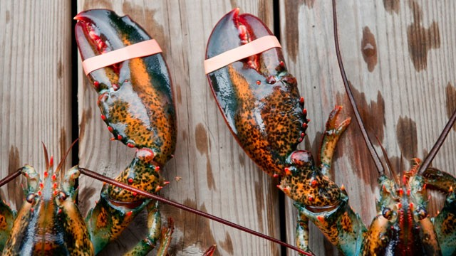 PHOTO: Two lobsters in Acadia National Park, Maine.