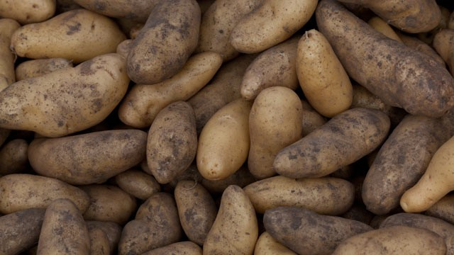 PHOTO:Freshly dug potatoes.
