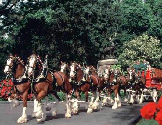 Budweiser Clydesdale History