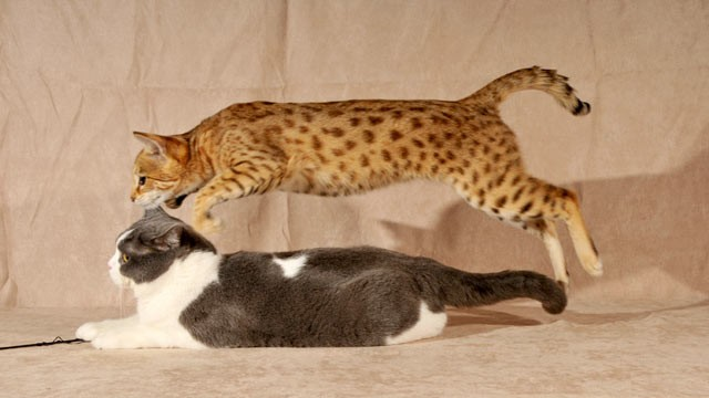 "PHOTO: Coco, a Savannah cat, leaps over Georgie, a British shorthair cat. Their owner, Brigitte Cowell hopes to dispel a ""myth"" that Savannahs are wild, dangerous cats."