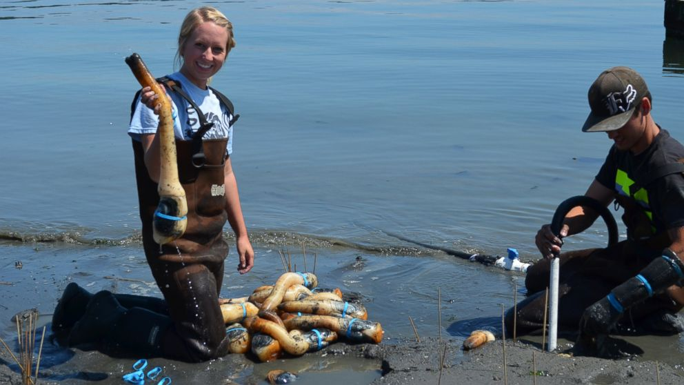 PHOTO: Geoduck clams harvested by Taylor Shellfish Farms in Washington.