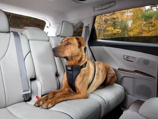Seat Belts for Pets?