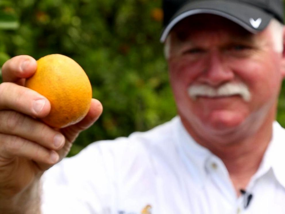 PHOTO: Tropicana works with more than 100 growers in Florida and more than 500 orange groves to make its orange juice.