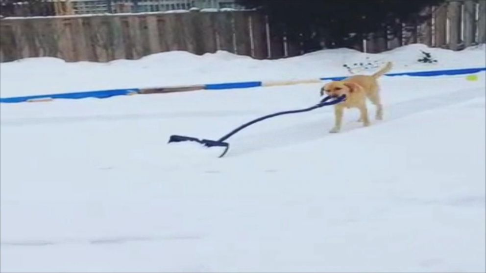VIDEO: Watch Adorable Dog Shovel Snow for Her Owners