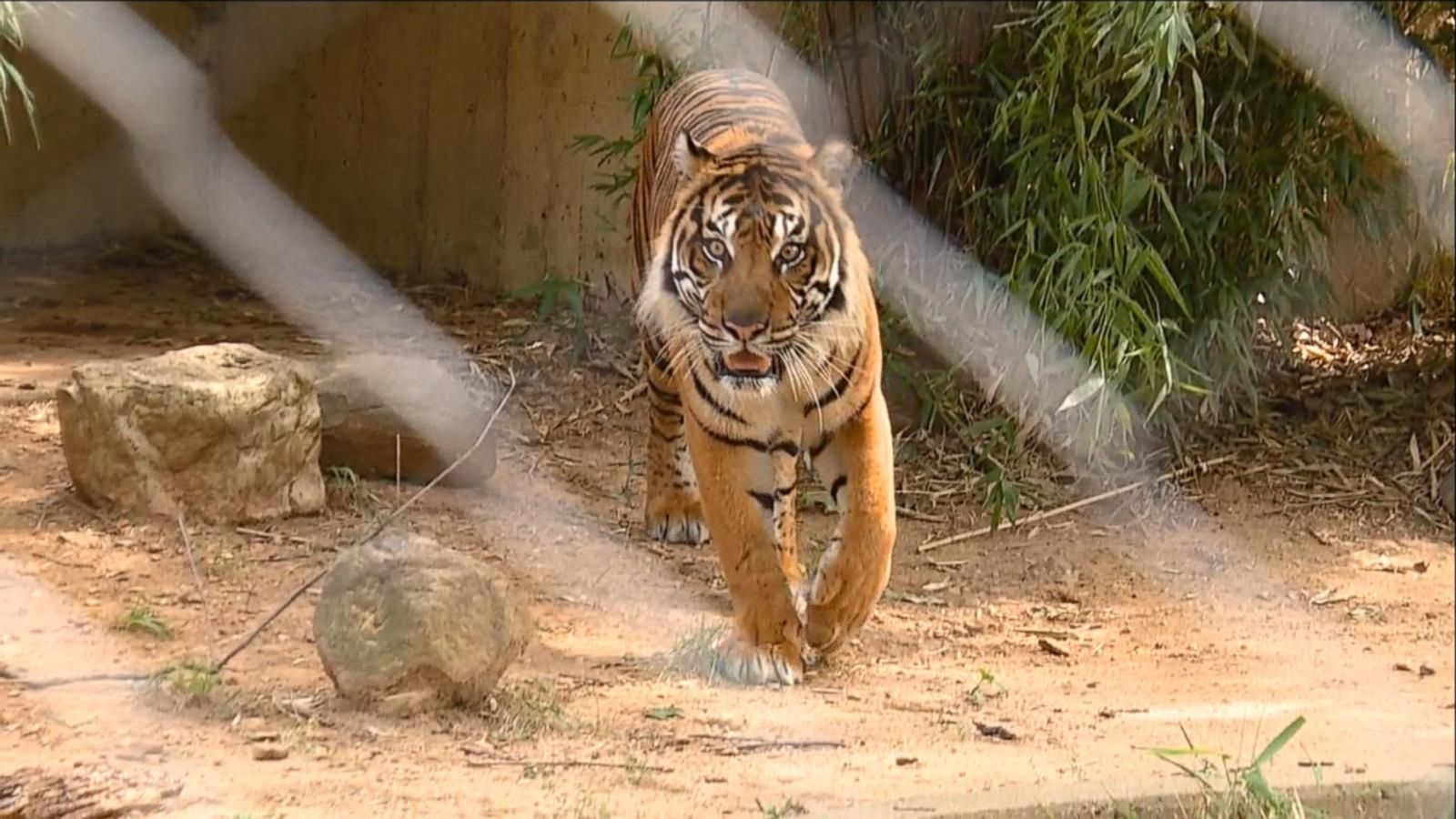 VIDEO: Meet Sparky the Tiger at the National Zoo