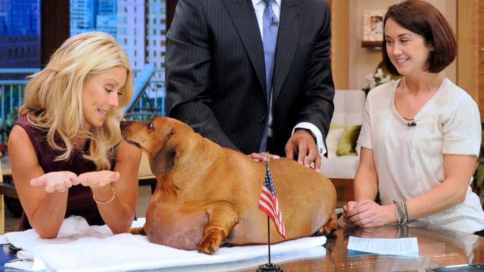 "PHOTO: Heres what 77-pound Obie the Dachsund looked like on ""LIVE! with Kelly and Michael,"" Sept. 14, 2012."