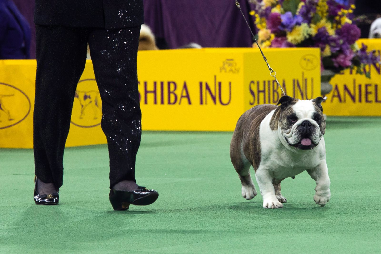 the 140th annual westminster kennel club dog show photos abc news