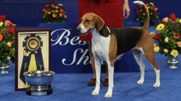 HT national dog show lpl 131129 16x9 608 How Adorable is Jewel   American Foxhound Wins 2013 Best in Show