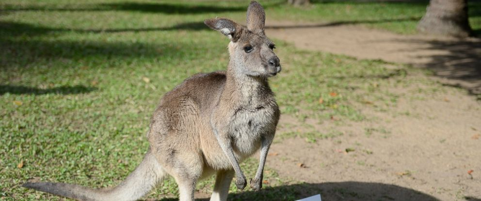 PHOTO: Flopsy the kangaroo from Australia Zoo is making predictions for the 2014 World Cup.