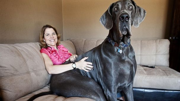 NC giant george nt 131024 16x9 608 Giant George   The Worlds Tallest Dog Has Died