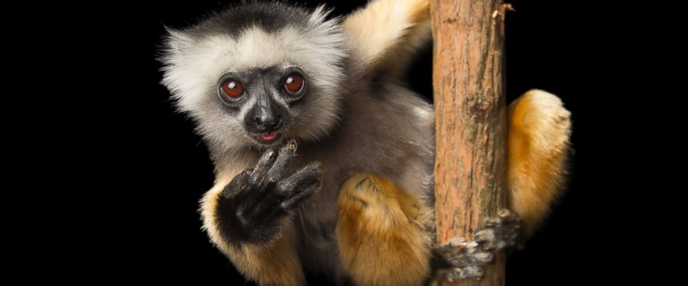 This undated image released by PBS shows an endangered Diademed sifaka (Propithecus diadema) at Lemuria Land in Madagascar. National Geographic photographer Joel Sartore is documenting thousands of rare animal species. His quest is detailed in the PB