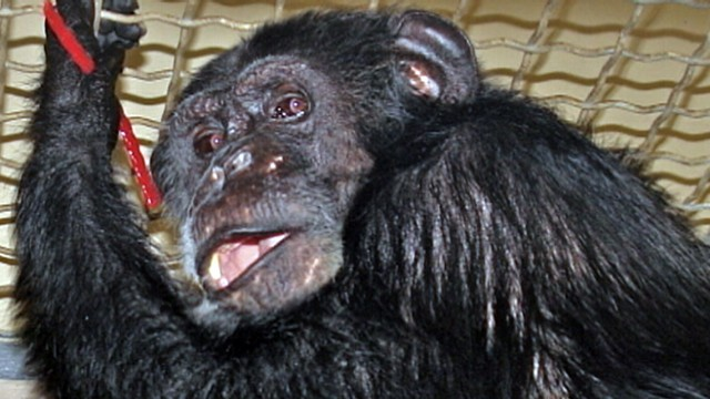 "VIDEO: Some people doubt that the chimpanzee was the one to appear in ""Tarzan"" films."