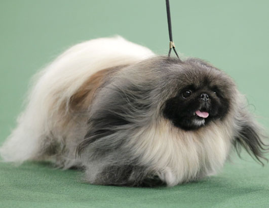 Malachy, a Pekingese, competes for best in show at the 136th annual Westminster Kennel Club dog show in New York, Tuesday, Feb. 14, 2012. Malachy went on to win the award.