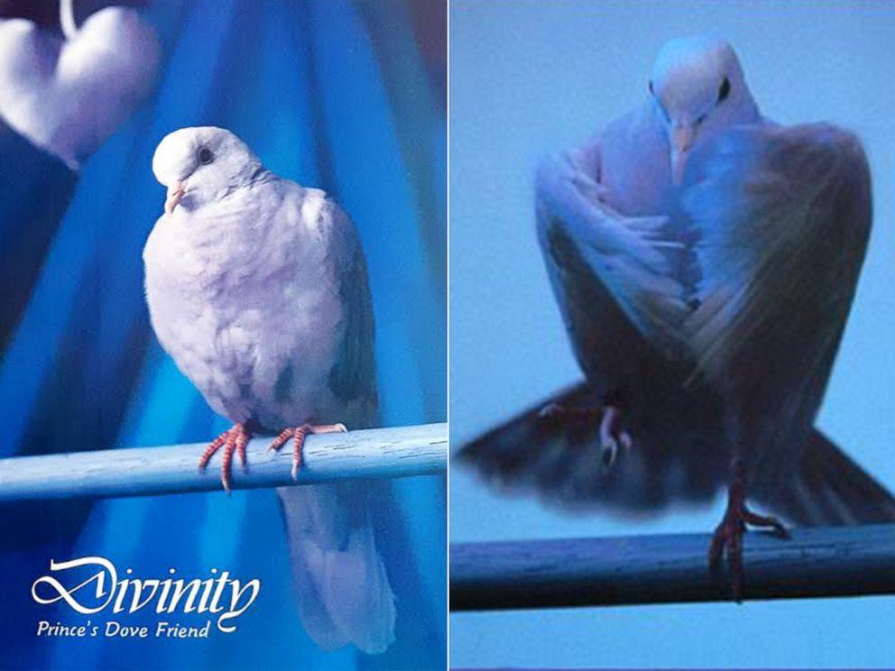 PHOTO: Photos of Princes dove shot by Bundt for his Purple Rain Tour Book.