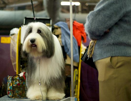 Faces of the Westminster Dog Show 2013