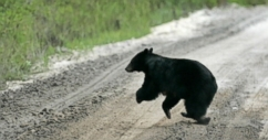 Authorities are hoping to catch a bear that attacked a Florida mother while walking her dog.