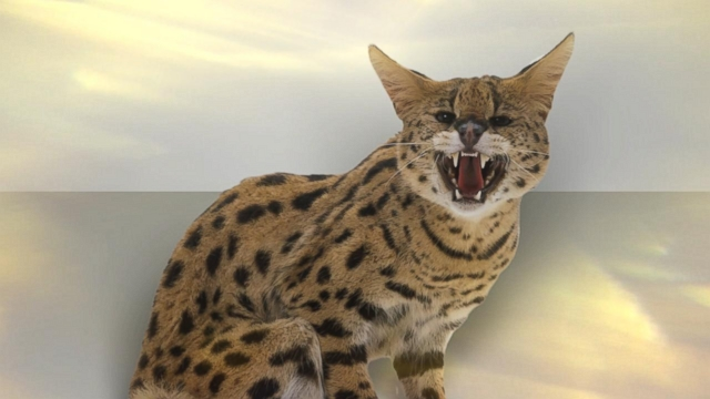 SERVAL AND CARACAL HYBRIDS  MESSYBEAST